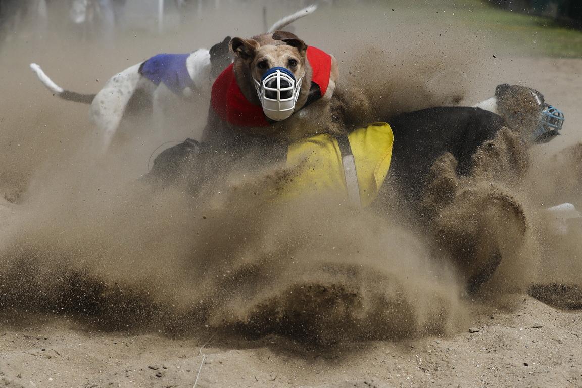 <p>Състезания с хрътки на писта Естела в Повоа де Варзим, северна Португалия. Състезания с хрътки в Португалия се провеждат главно в северната част на страната около Порто с надбягвания от февруари до ноември, с прекъсване през юли и август поради горещото време. В Португалия няма залагания на кучешки състезания</p>