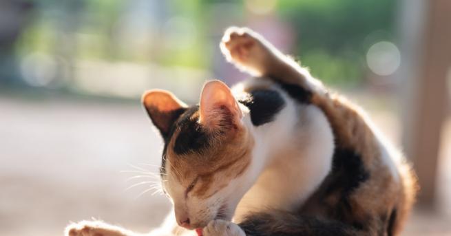 Британска домашна котка на име Джорджи, която изчезнала по време