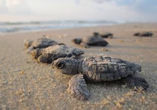 Откриха двуглава костенурка в Малайзия