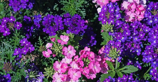 """Наричат върбинката """"цветето на ентусиазма"""", тъй като се счита, че"""