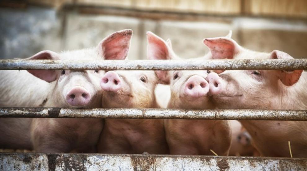 Изтича срокът за доброволно умъртвяване на свинете в Южна България