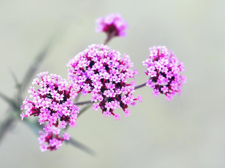 <p>Растението е подходящо и при главоболие&nbsp;вследствие на мигрена. След употреба на растението се усеща успокоение.</p>  <p>&nbsp;</p>