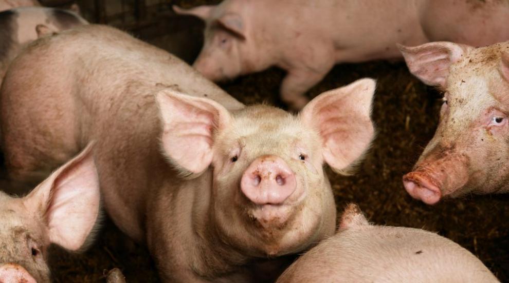 Отпада забраната за движение на свине и месо в 39 ферми и 66 кланици у нас
