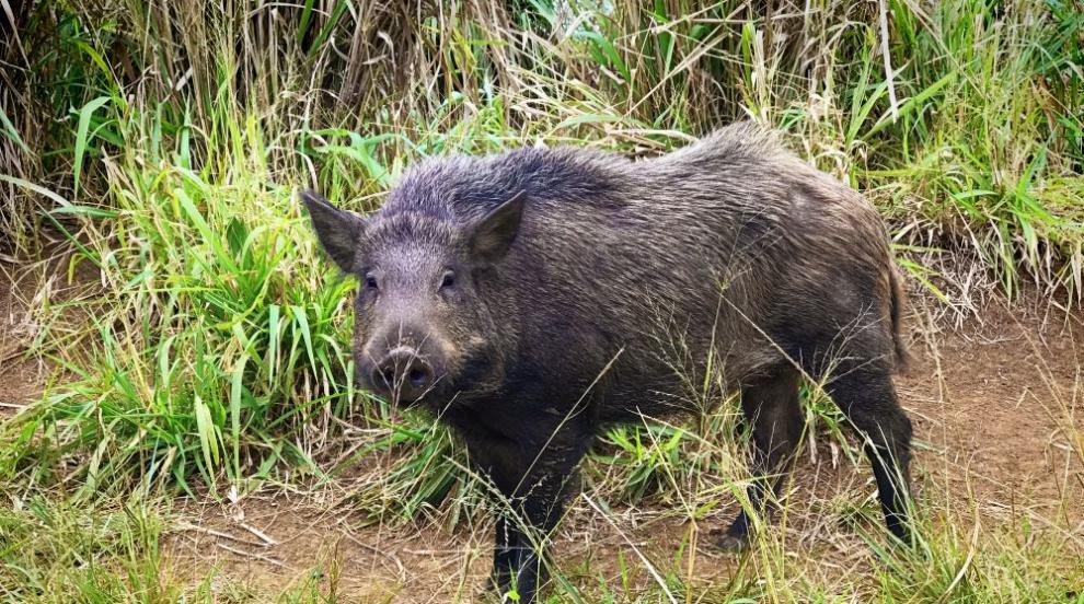 Предстои масово умъртвяване на всички диви свине от ДЛС-