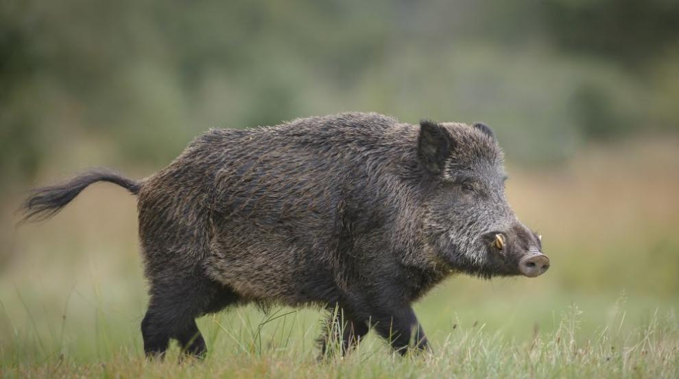 Огнище на чума по свинете и във Варненско