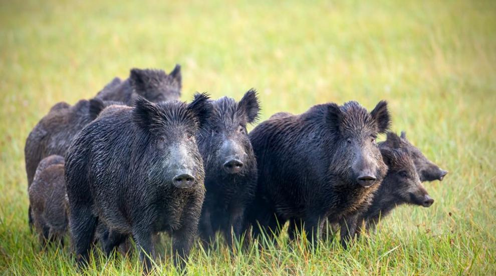 Нови огнища на Африканска чума при диви свине на...