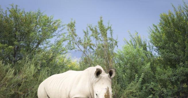 Южен бял носорог, заченат чрез изкуствено осеменяване, се роди в