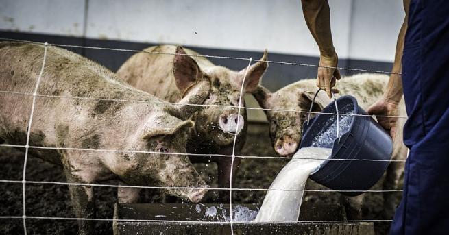 Индустриалните свиневъди в България, които отглеждат около 1 млн. прасета