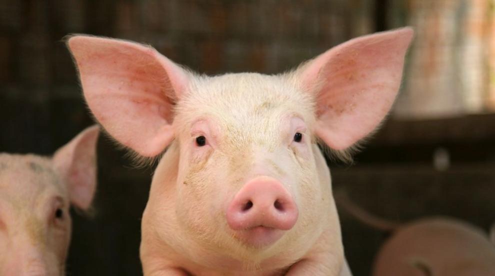 Огнище на Африканска чума по свинете във Варненско