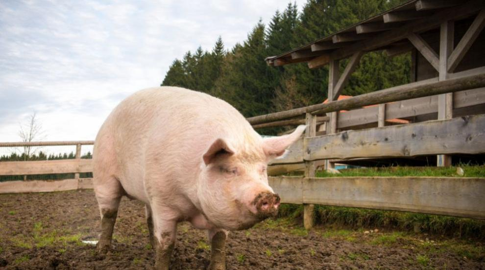 Потвърдиха африканска чума при четири диви свине в...