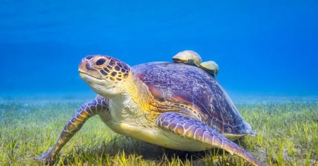 Зелените морски костенурки е по-вероятно да погълнат парчета пластмаса, които