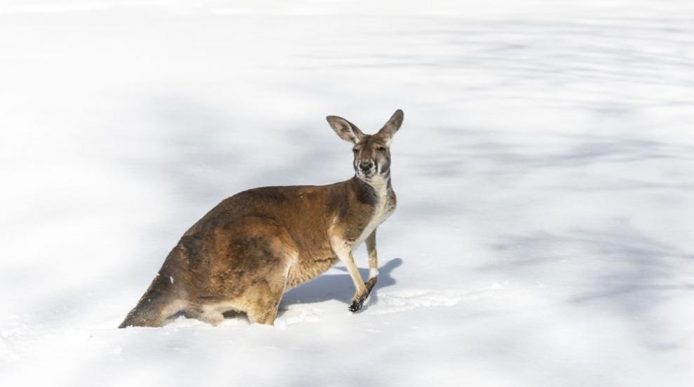 Сняг завари неподготвени кенгурута в Австралия (СНИМКИ/ВИДЕО)