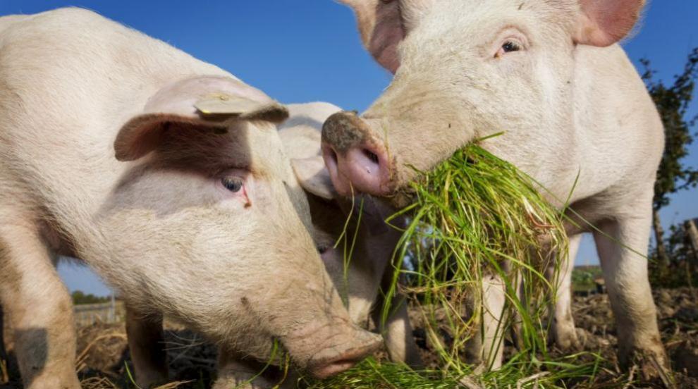 В Япония изклаха стотици свине заради епидемия от свинска треска