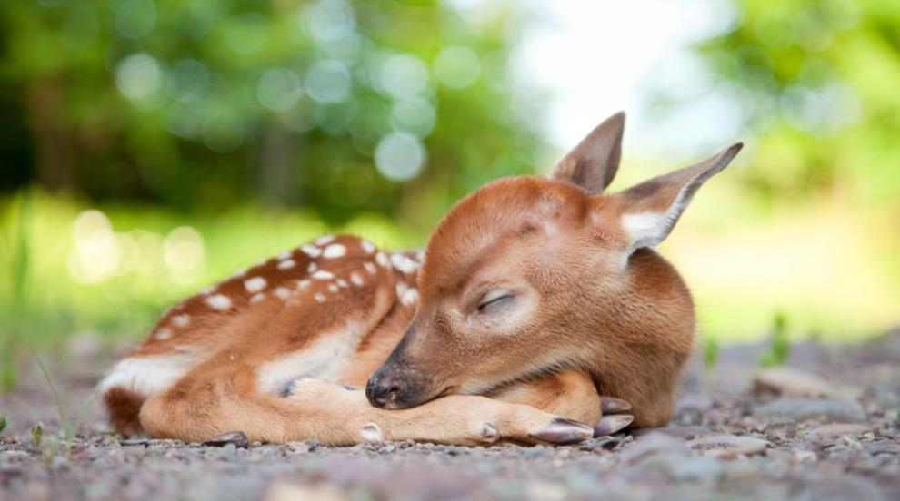 Изоставено еленче намери майчина грижа при коза (СНИМКИ)