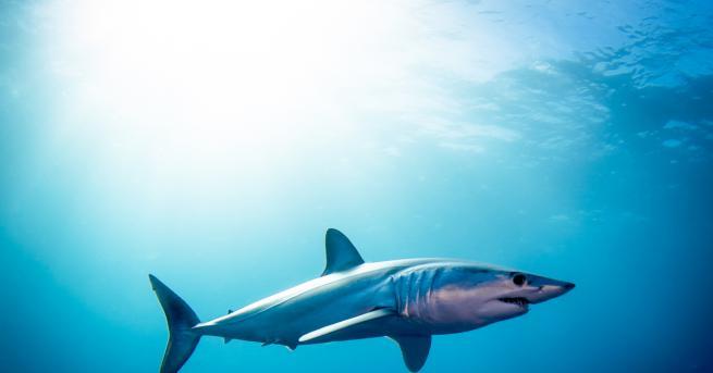 Стотина държави гласуваха за опазването на акулите мако на конференция