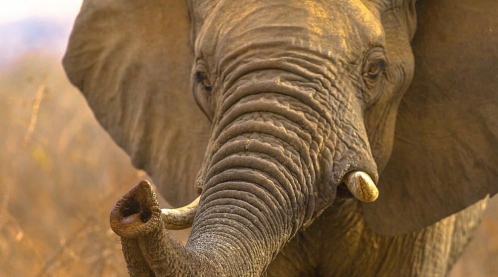 Разхождащ се по улиците слон изплаши жители в Беларус