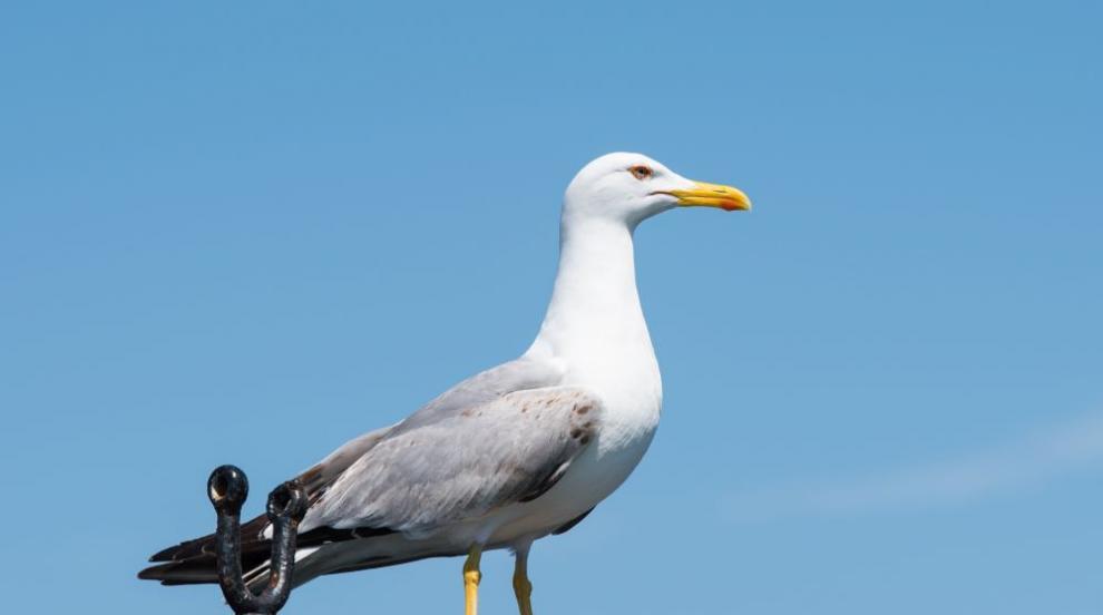 Чайките ни дебнат за храна по точно определен график