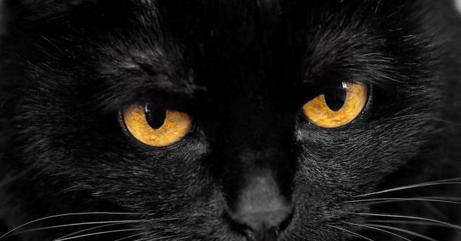 Котка сфинкс с огромни уши, по-голяма глава и смразяващи кучешки