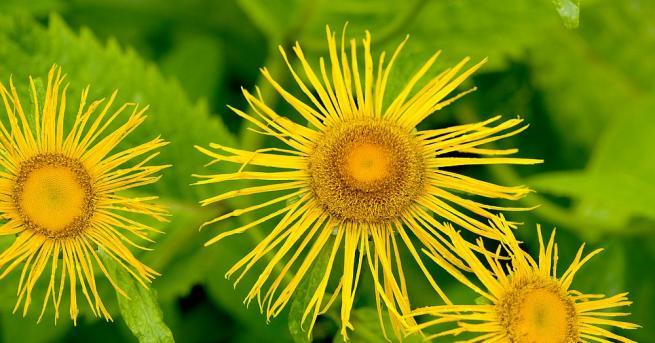 В гръцката митология се разказва за една билка, която се