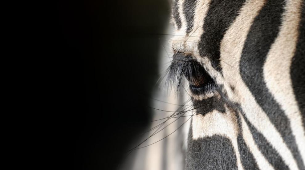 Заснеха зебра на точки вместо на райета (СНИМКИ)