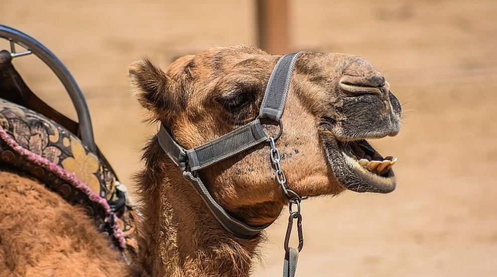 Жена ухапа камила по интимните части, за да защити глухото си куче