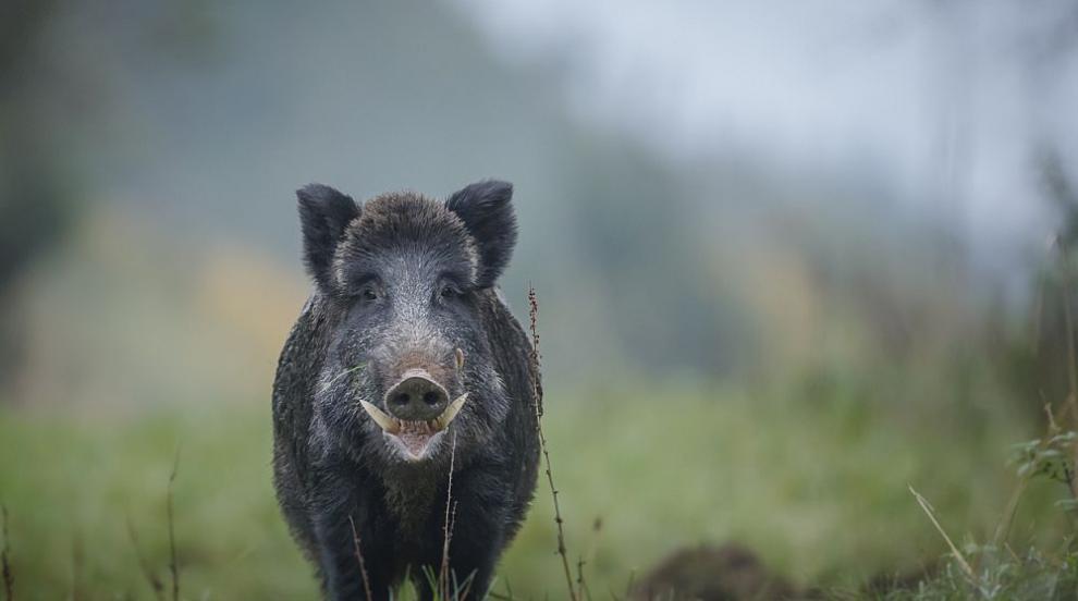 Ново огнище на Африканска чума по свинете около...