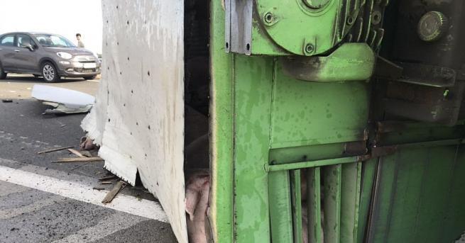 """Камион, превозващ прасета, се обърна на автомагистрала """"Тракия"""". Инцидентът е"""