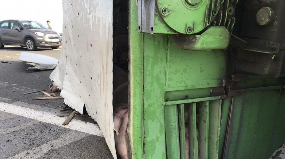 """Пиян шофьор обърна камион с прасета на """"Тракия"""" (СНИМКИ)"""