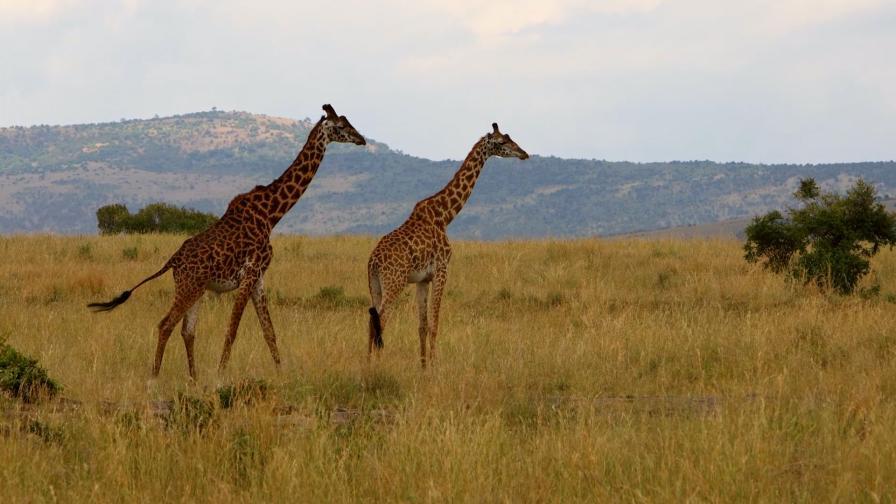 На сафари в Кения