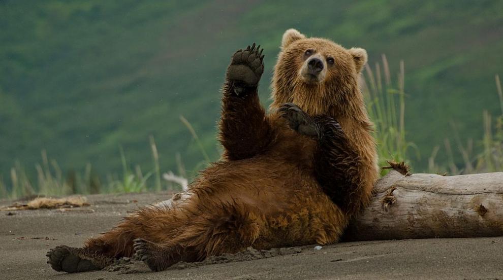 Коя е най-дебелата мечка в Америка? (ВИДЕО)