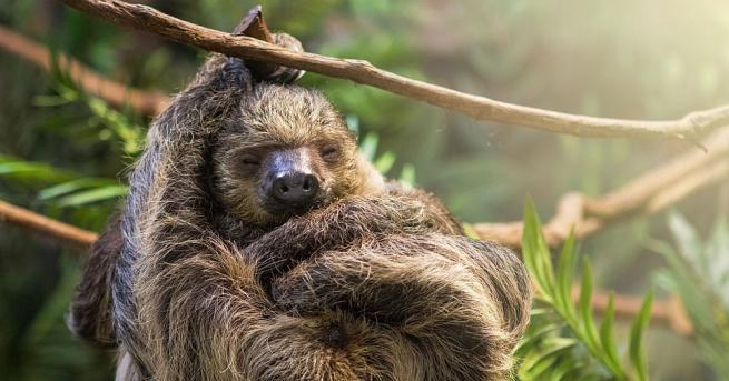 Снимка: Ленивецът Паула е най-възрастният от вида си