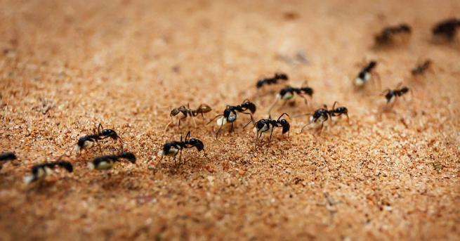 Снимка: Най-бързите мравки в света