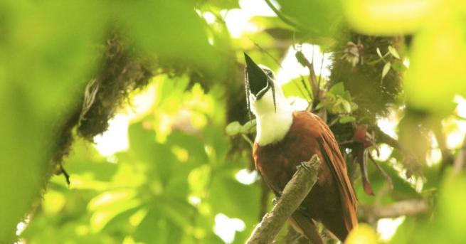Най-шумната птица в света живее в Амазонската джунгла, казват учени.