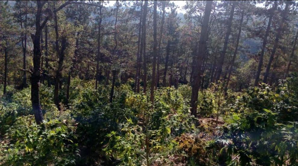Полицаи от Сандански откриха над 4 тона канабис