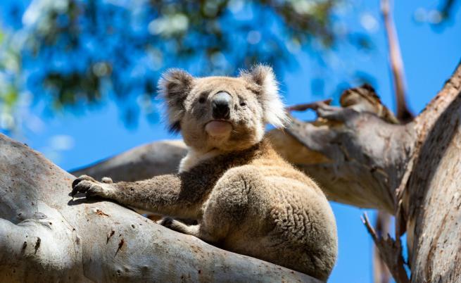 Стотици коали вероятно са загинали в Австралия