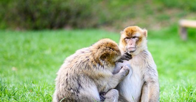 Две маймуни в Малайзия живеят заедно като женена двойка, ходят