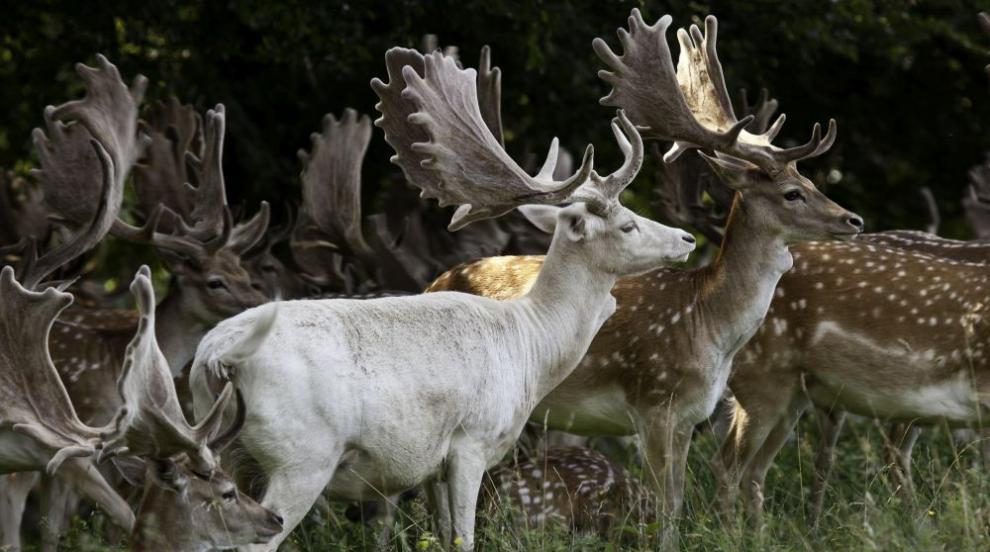 Бяло еленче слезе от гората в Карловско (ВИДЕО)