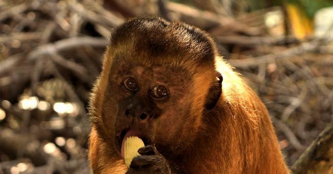 Зоопаркът в Тянцзин иска да намери съпруга на примат, който