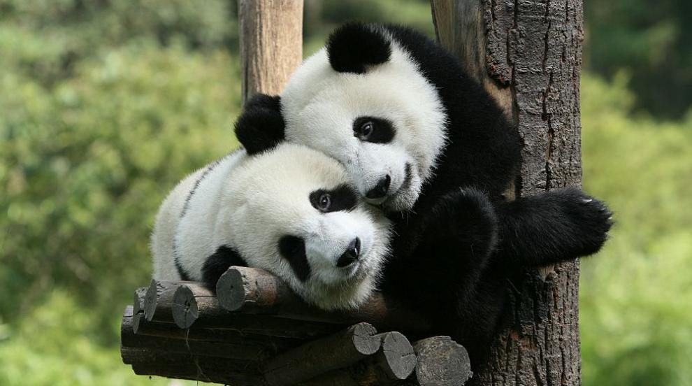 Пандите близначета, които ще ви разтопят (СНИМКИ)