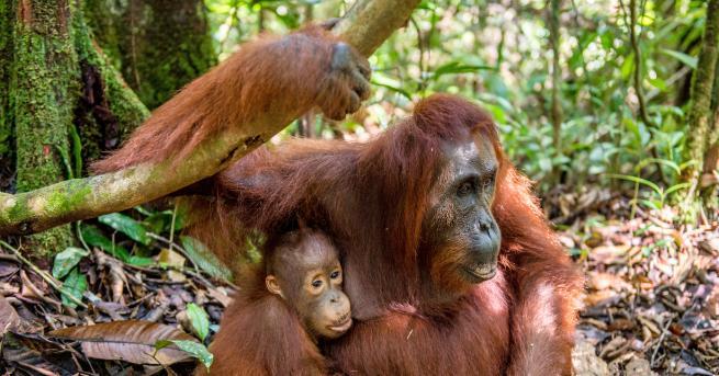 Любопитно Бебе орангутан от критично застрашен вид се роди в