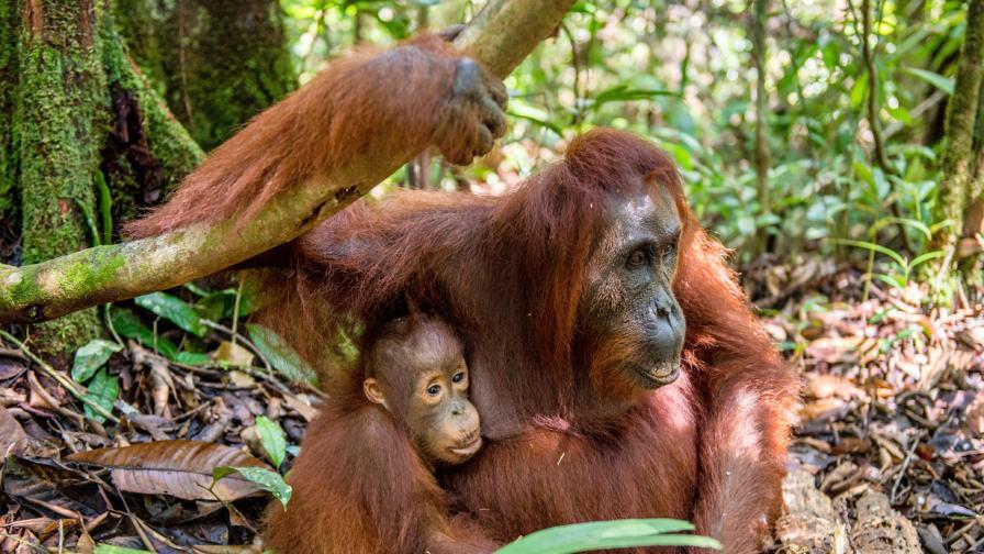 <p><b>Вижте&nbsp;</b>бебето орангутан, което трогна света</p>
