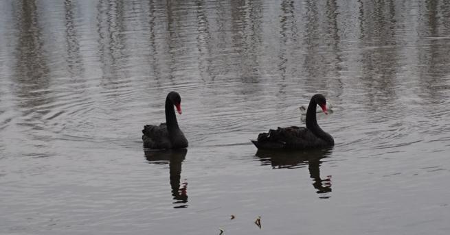 Снимка: Откриха двойка черни лебеди, избягали от езеро в парк