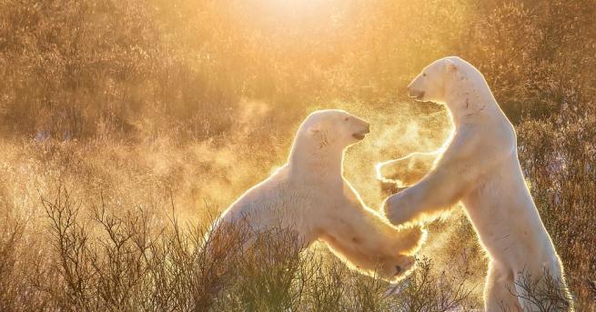 56 бели мечки се събраха край селище в Чукотка в