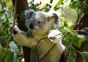 Австралия се грижи за коалите си