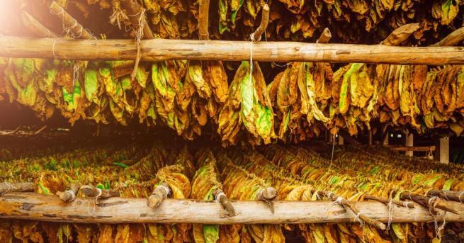 Търговските дружества, с които тютюнопроизводителите са сключили договори, ще продължат