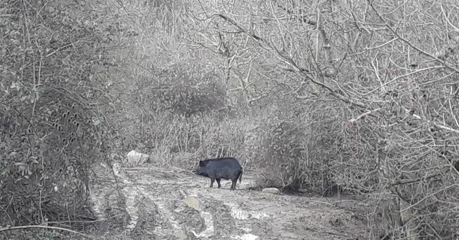 Древната порода прасета Източнобалканска свиня изчезва от България. Тя е