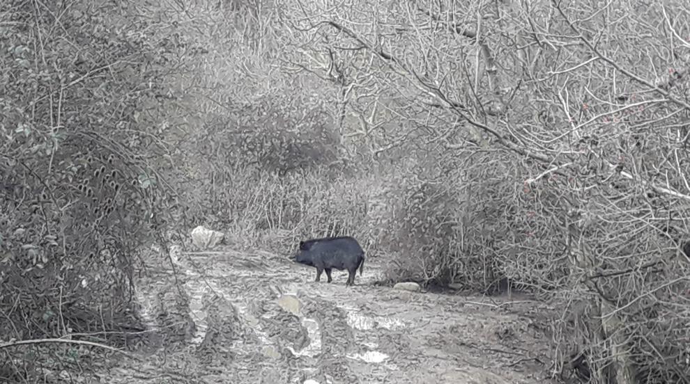 Източнобалканската свиня изчезва