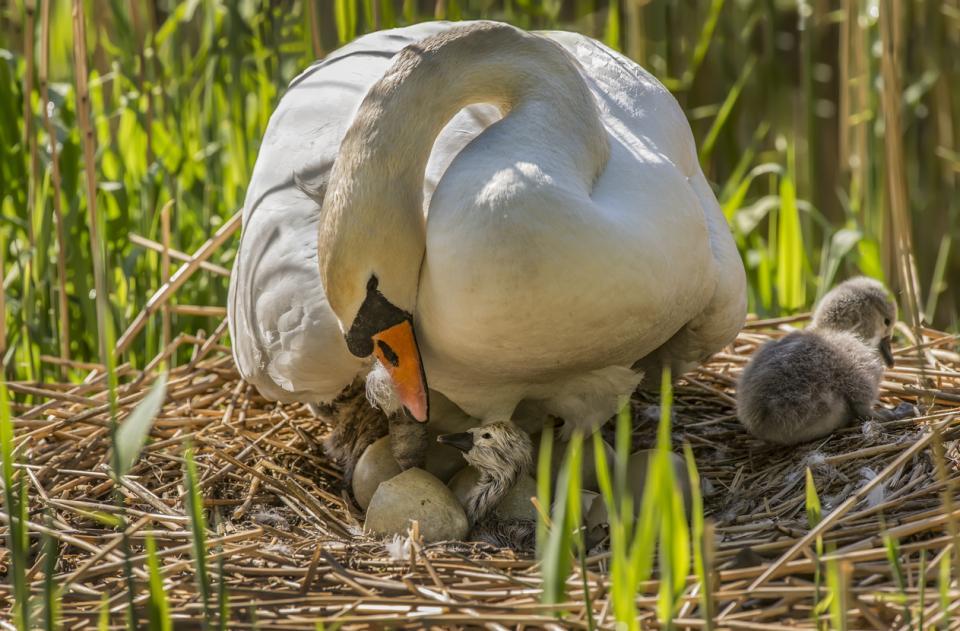 лебед яйца
