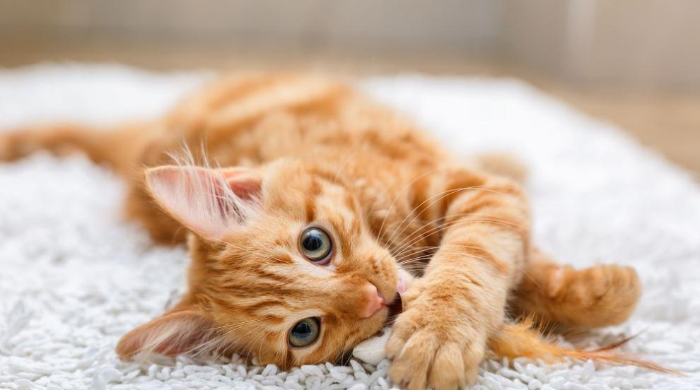 Котка измина повече от 60 км за месец и половина, за да се върне при стопаните си