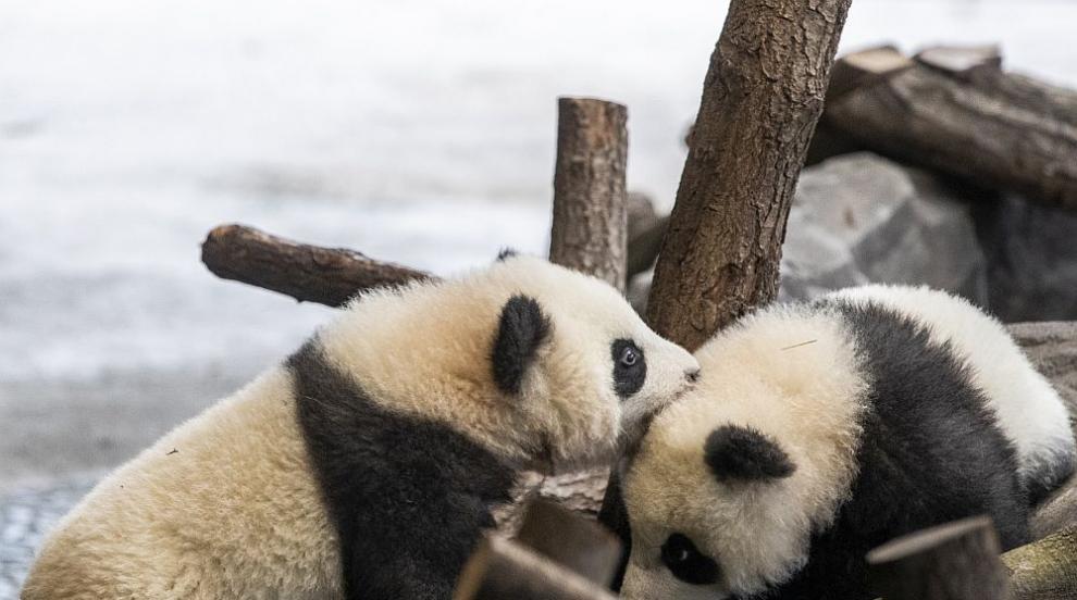 Не сте виждали по-сладки панди близначета...